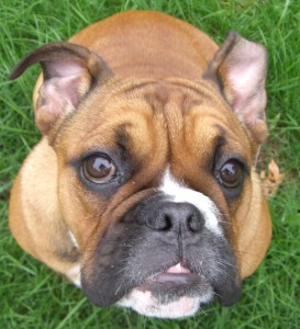 About English Bulldogs