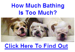 english bulldog bathing