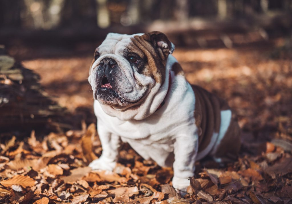 english bulldog in leaves
